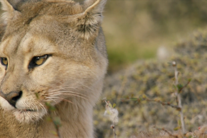 Cazadora, a female puma, stands her ground when a male puma comes back for his kill.