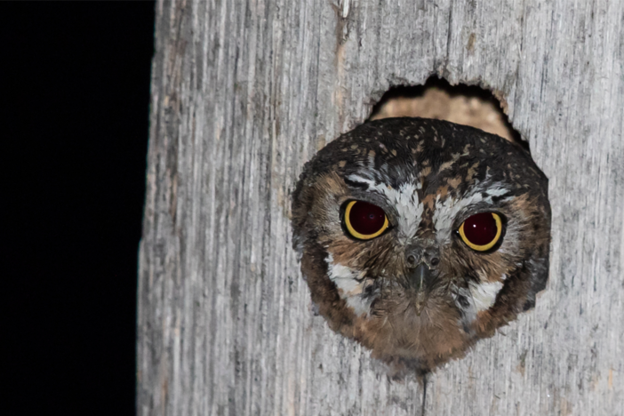 Watch the elf owl, the smallest owl in the world, hunt food for its chicks.