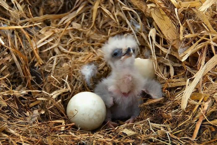 It takes 37 days for eagle eggs to incubate.