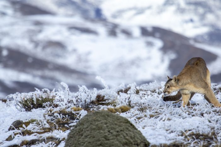 Follow the fate of a puma family in the ice mountains of Patagonian Chile.