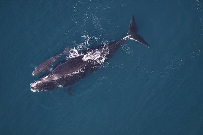 A right whale with a calf, photographed in 2013. Typically, the whales have their babies off the Georgia and Florida coast, but surveys this year have spotted no calves.