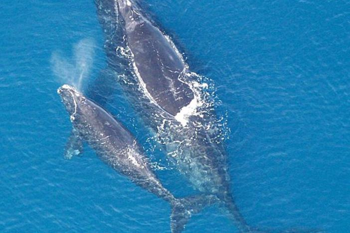North Atlantic right whale with calf