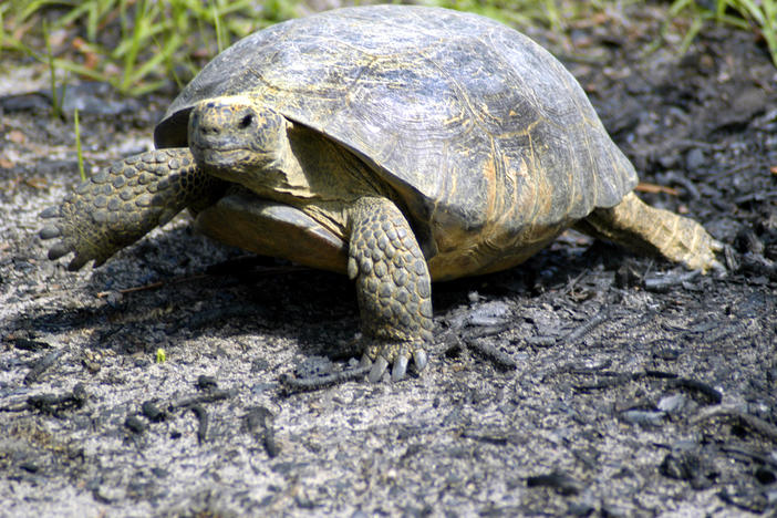 The Conservation Fund and Open Space Institute has bought a 16,000-acre site along the Satilla River east of Woodbine, furthering the goal of protecting 65 of the roughly 122 viable gopher tortoise populations in the Georgia.