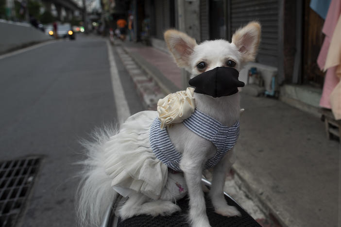 "A pet dog named ""Money"" wearing a pet face mask poses for a photo in Bangkok, Thailand, Thursday, June 4, 2020."