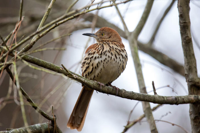 If summer temperatures increase by 2 degrees Celsius, or 3.6 Fahrenheit degrees, brown thrashers would lose nearly 75% of its range in Georgia.
