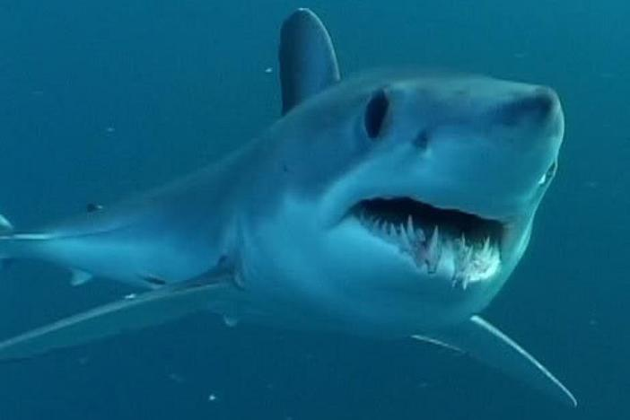 Atlantic Shortfin Mako Shark