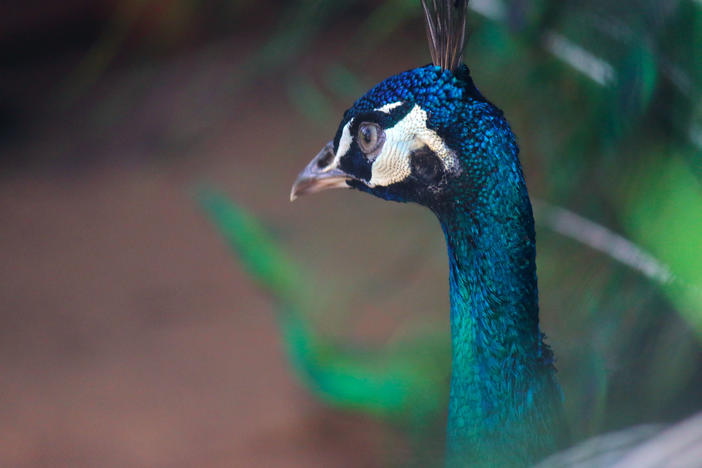 Peacocks were so beloved by writer Flannery O'Connor that for many they are a symbol of the writer and her work.
