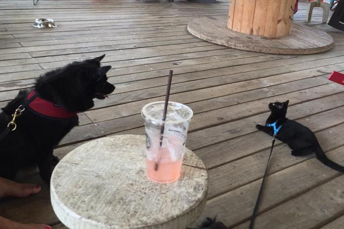 On Second Thought producer Sean Powers has trained his cat Alonso to walk outside on a leash, so he can be outdoors without being unattended. Here's Alonso next to a large dog at a coffee shop in Atlanta.
