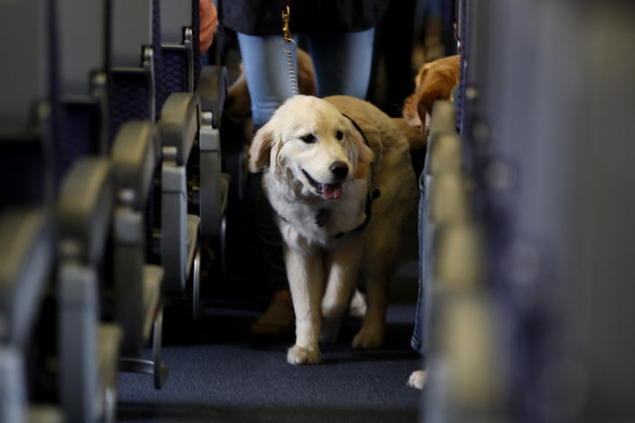 A service dog strolls through the isle inside a plane at Newark Liberty International Airport while taking part in a training exercise, in Newark, N.J.