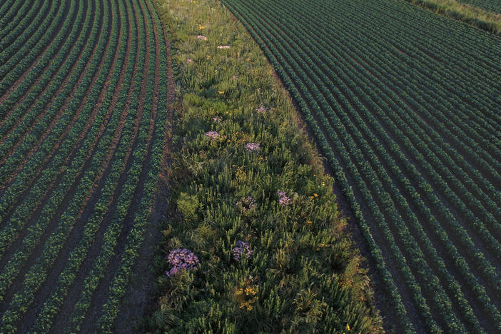 Prairie strips in fields of corn or soybeans can protect the soil and allow wildlife to flourish. This strip was established in a field near Traer, Iowa, in 2015.