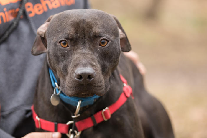 <strong>A new leash on life:</strong> The ASPCA's Behavioral Rehabilitation Center in Weaverville, N.C., helps traumatized dogs learn to trust humans again.