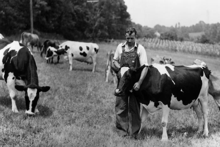 A farmer in a pasture circa 1945 appears to get his cow cuddles for free. These days, it could cost him.
