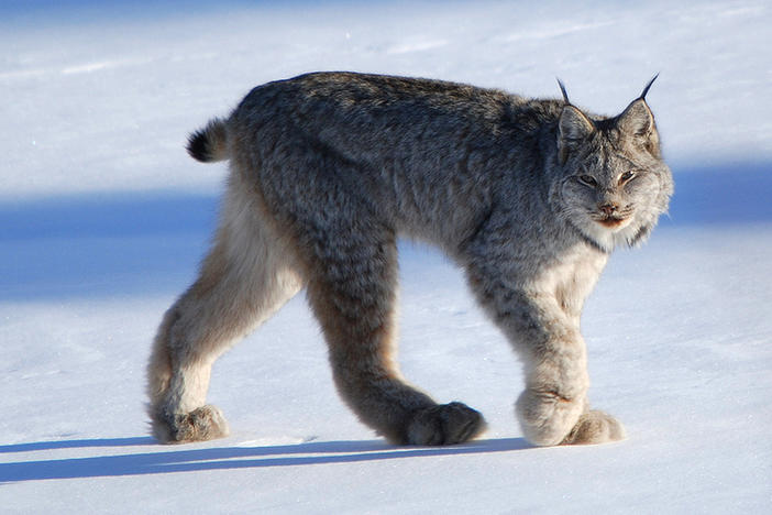 The newly sequenced Canada lynx genome has already offered hints of how the North American wildcat might adapt — or not — to climate change, researchers say.